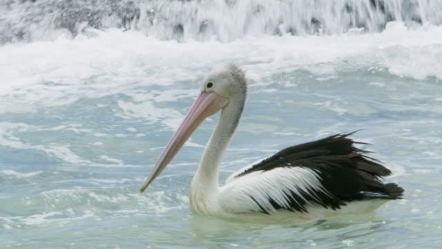 vídeos de stock, filmes e b-roll de ls australian pelican (pelecanus conspicillatus) - pelicano