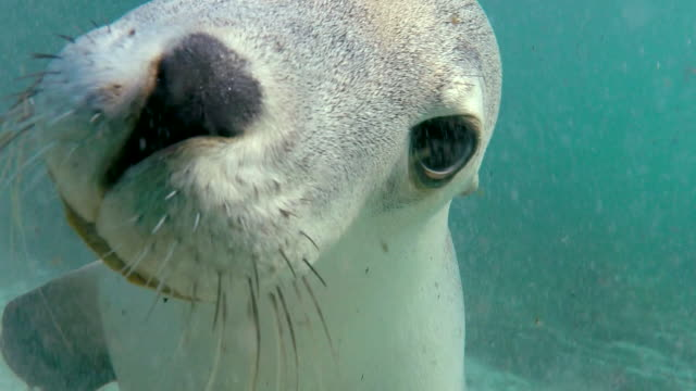 australian sea lion looks in the camera, neptune islands, south australia. - seal animal stock videos and b-roll footage