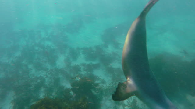 australian sea lion playing in front of the camera in shallow water, neptune islands, south australia. - south australia bildbanksvideor och videomaterial från bakom kulisserna