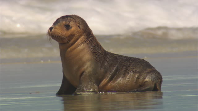 ts, ms, australian sea lion (neophoca cinerea) pup on sea shore, seal bay, kangaroo island, south australia, australia - sea lion stock videos & royalty-free footage