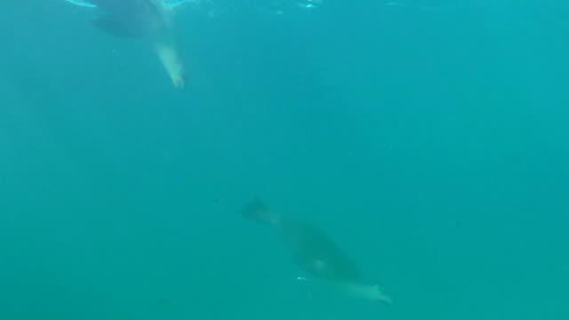 australian sea lions playing at the surface, neptune islands, south australia. - south australia bildbanksvideor och videomaterial från bakom kulisserna