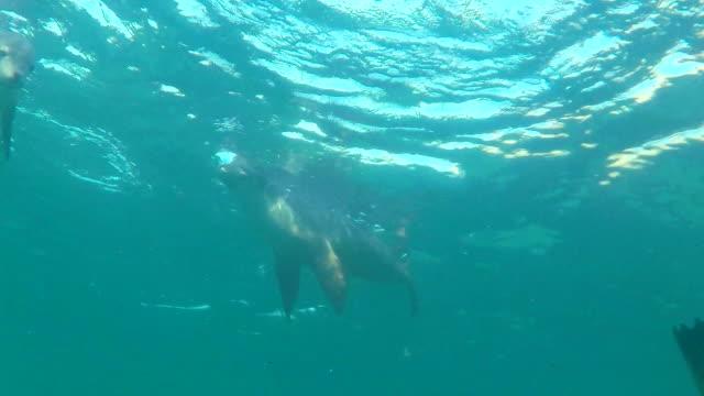 australian sea lions playing on the water's surface, neptune islands, south australia. - south australia bildbanksvideor och videomaterial från bakom kulisserna
