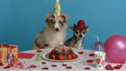 Australian Shepherd and  Chihuahua sitting at their birthday table