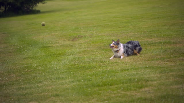 stockvideo's en b-roll-footage met ws slo mo pan australian shepherd catching ball on grass field / morristown , new jersey, usa   - australische herder