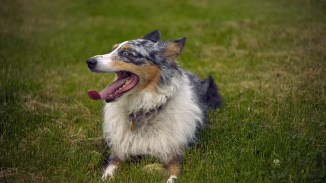 cu slo mo australian shepherd panting and turning head / morristown , new jersey, usa       - sticking out tongue stock videos & royalty-free footage