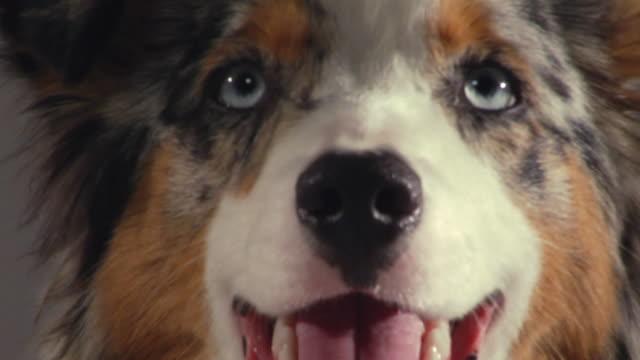 stockvideo's en b-roll-footage met ecu australian shepherd panting / boston, massachusetts, usa - australische herder