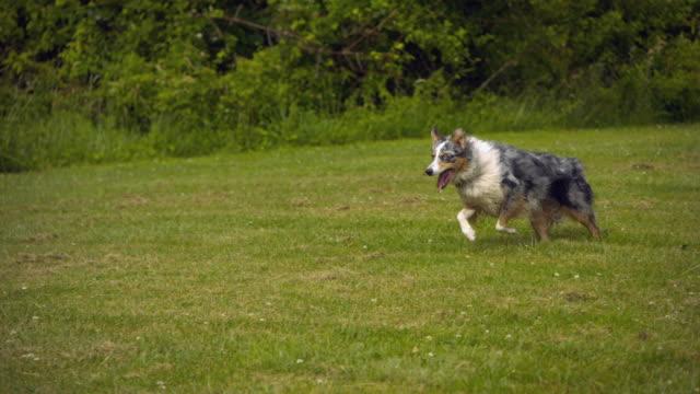 stockvideo's en b-roll-footage met ts ws slo mo australian shepherd running for retrieving tennis ball / morristown , new jersey, usa      - australische herder
