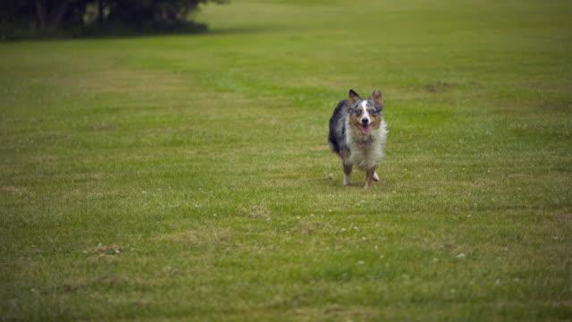 stockvideo's en b-roll-footage met ws slo mo pan australian shepherd running / morristown , new jersey, usa       - australische herder