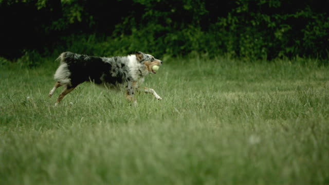 stockvideo's en b-roll-footage met slo mo, ws, australian shepherd running with ball in mouth, mamaroneck, new york, usa - australische herder