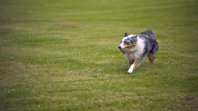 stockvideo's en b-roll-footage met ts ws slo mo australian shepherd running with tennis ball / morristown , new jersey, usa      - australische herder