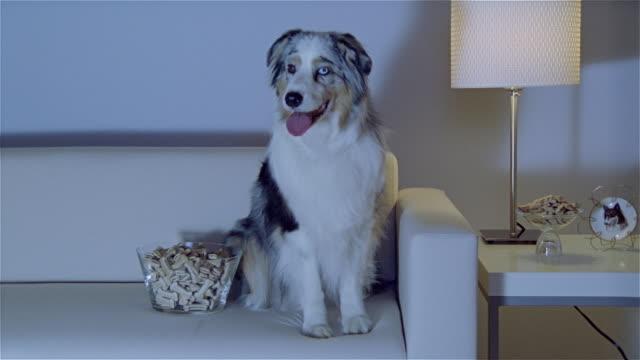 stockvideo's en b-roll-footage met ms, australian shepherd sitting on sofa, watching tv - australische herder