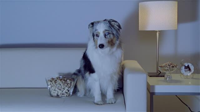 stockvideo's en b-roll-footage met ms, zi, cu, australian shepherd sitting on sofa, watching tv - australische herder