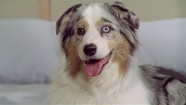 stockvideo's en b-roll-footage met cu, zo, ms, australian shepherd with different colored eyes lying on bed - australische herder