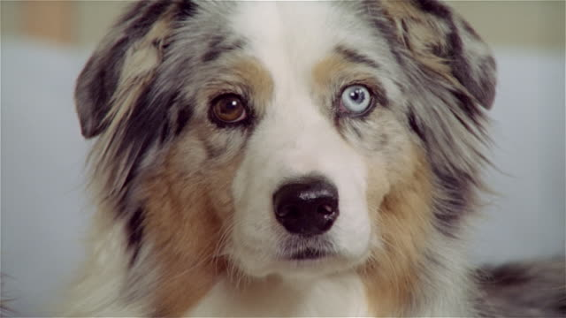 cu, australian shepherd with different colored eyes - pure bred dog stock videos and b-roll footage