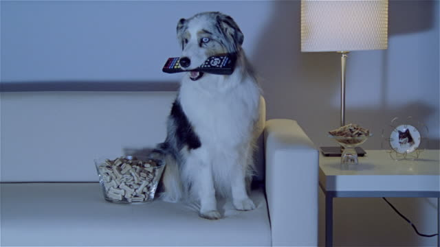 stockvideo's en b-roll-footage met ms, australian shepherd with remote control in mouth, sitting on sofa beside bowl of biscuits - australische herder