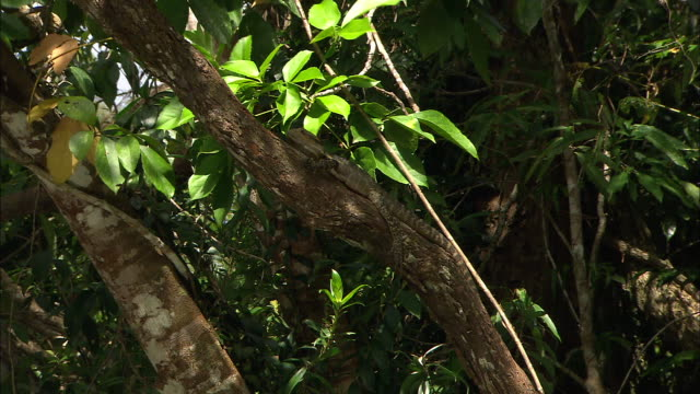 australian water dragon lizard lies on tree branch in tropical rainforest with dense lush foliage behind - dragon tree stock videos & royalty-free footage