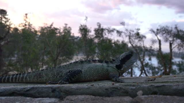 Drago d'acqua australiano