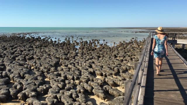 australian woman looking at stromatolites in shark bay western australia - botany stock videos & royalty-free footage