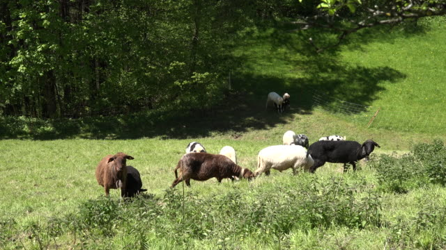 austria sheep with bells - hooved animal stock videos and b-roll footage