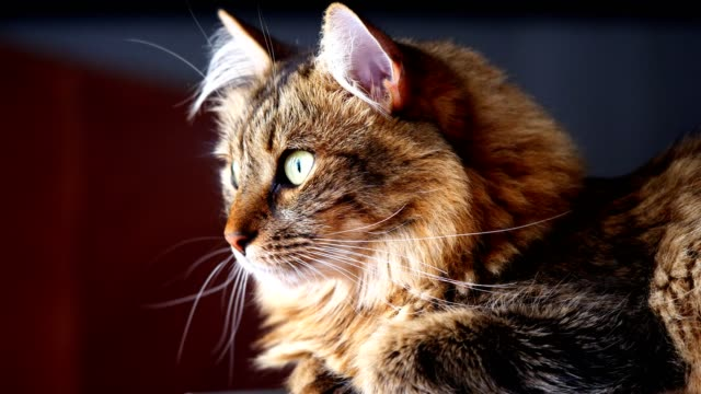 austrian forest cat - traditionally austrian stock videos & royalty-free footage