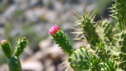 Austrocylindropuntia subulata cactus grows in mountainous, arid, stony places