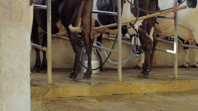automatic milking system industry cow farm - breeder stock videos and b-roll footage