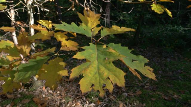 vidéos et rushes de automne forest - vincent pommeyrol