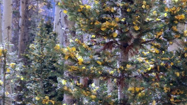 autumn aspen leaves on pine tree - gunnison stock videos & royalty-free footage