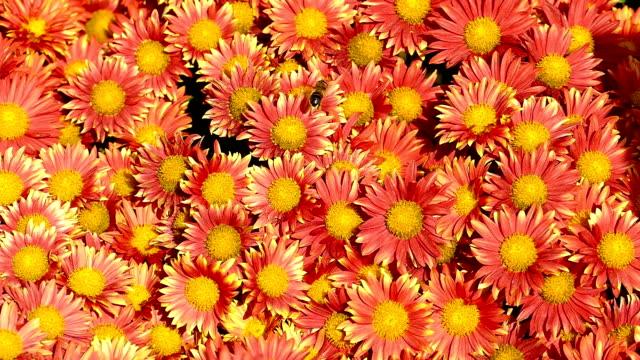 autumn background - chrysanthemums in the garden - chrysanthemum stock videos & royalty-free footage