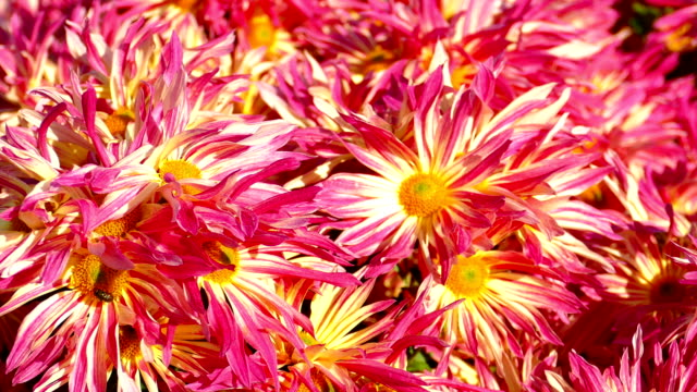 autumn background - chrysanthemums - temperate flower stock videos and b-roll footage