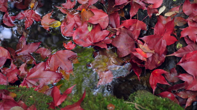 autumn background. red maple foliages in small pond with beautiful sunlight - swamp stock videos & royalty-free footage