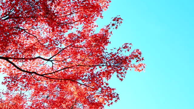 autumn background with blue sky - maple tree stock videos and b-roll footage