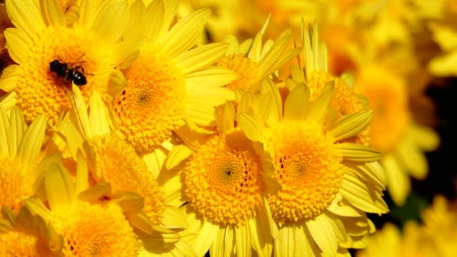 秋の背景 - 黄色の菊