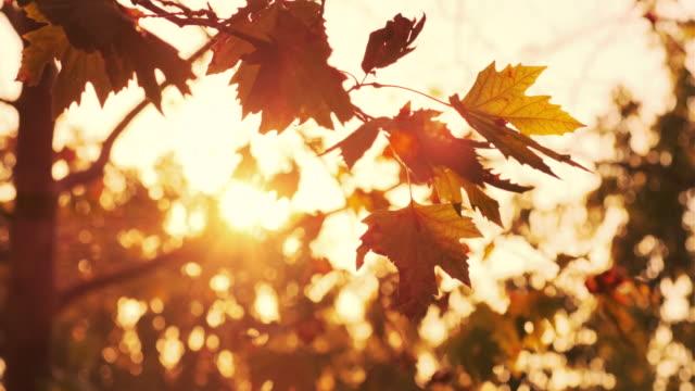 autumn, beautiful autumn leaves - maple tree stock videos & royalty-free footage