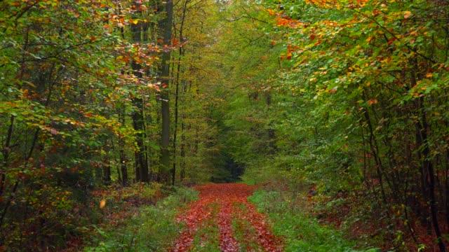 autumn beech forest, freudenburg, rhineland-palatinate, germany, europe - rhineland palatinate stock videos & royalty-free footage
