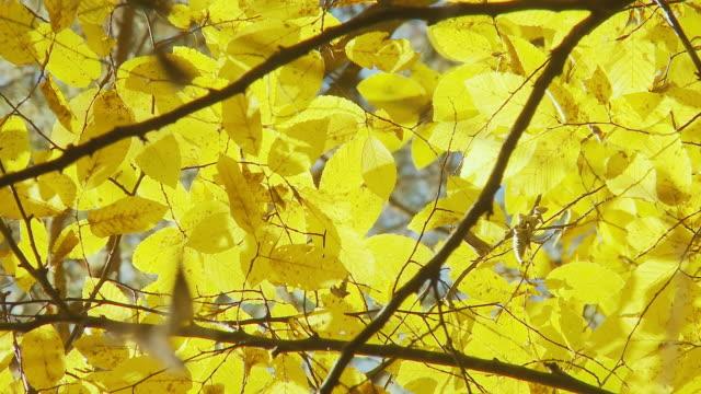 HD: Autumn Beech Leaves