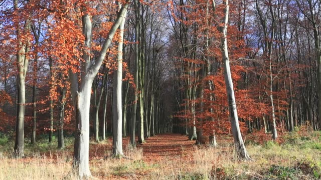 autumn beech trees, (fagus sylvatica), rockingham forest near the village of bulwick, northamptonshire, england, uk - diminishing perspective stock videos & royalty-free footage