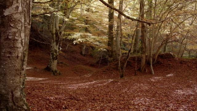 autumn beech - beech tree stock videos and b-roll footage