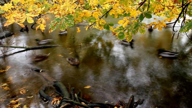 herbst. vögel swimmingpool - seeufer stock-videos und b-roll-filmmaterial