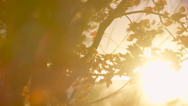 autumn breeze through a maple tree - maple tree stock videos and b-roll footage