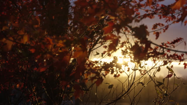 autumn breeze through a maple tree - maple leaf stock videos and b-roll footage