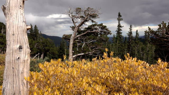 Autumn Bristlecone pine forest Mount Goliath Natural Area Mount Evans Wilderness Colorado Rocky Mountains