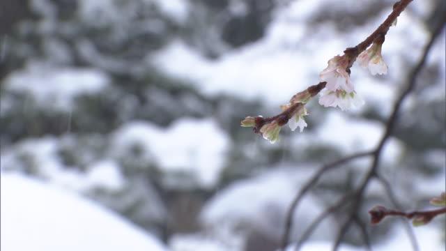 autumn cherry in kanazawa, japan - ishikawa prefecture stock videos and b-roll footage