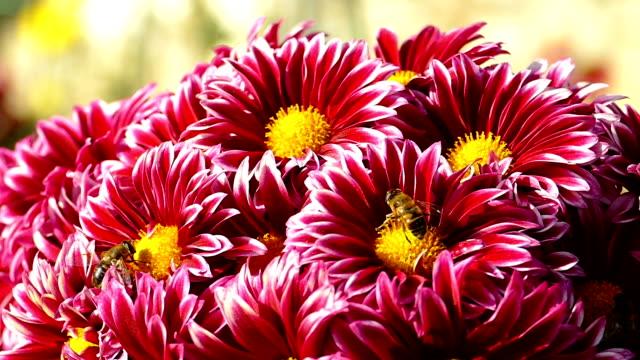 autumn chrysanthemums - chrysanthemum stock videos & royalty-free footage
