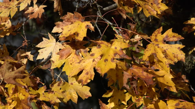 autumn close view of big leaf maple leaves - bigleaf maple stock videos and b-roll footage
