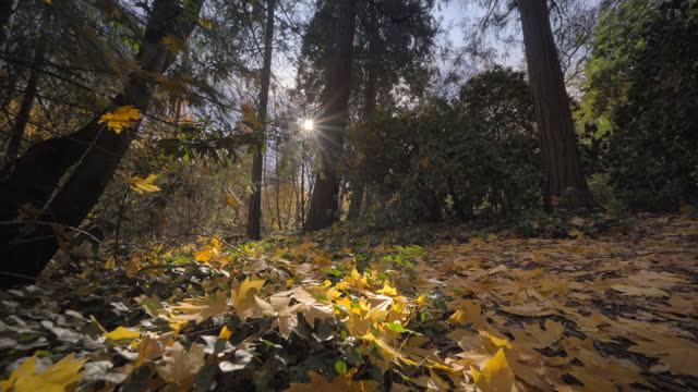 autumn color in northern california - gold coloured stock videos & royalty-free footage