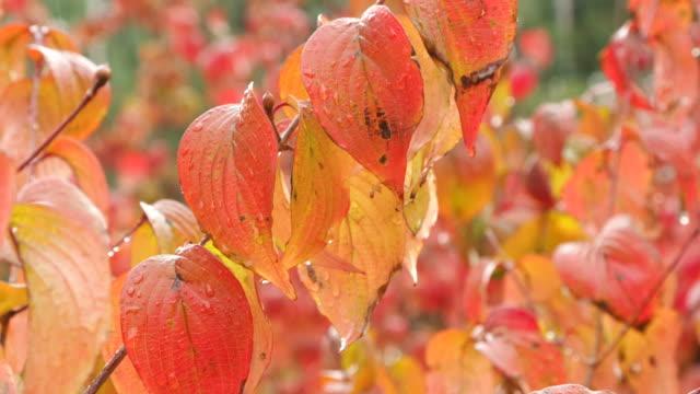 vídeos y material grabado en eventos de stock de autumn color leaves in raining janggunbong neighborhood park / sillim-dong, gwanak-gu, seoul, south korea - árbol de hoja caduca