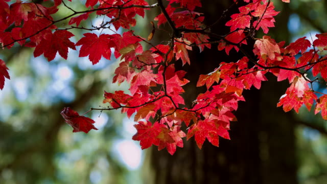 autumn color - maple leaf stock videos and b-roll footage