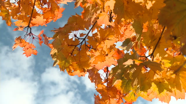 hd: autumn colors - maple tree stock videos and b-roll footage
