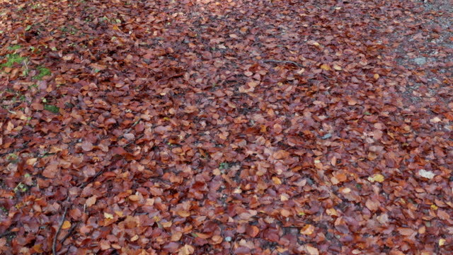 autumn coloured leaves on the ground in scottish woodland in south west scotland - johnfscott stock videos & royalty-free footage